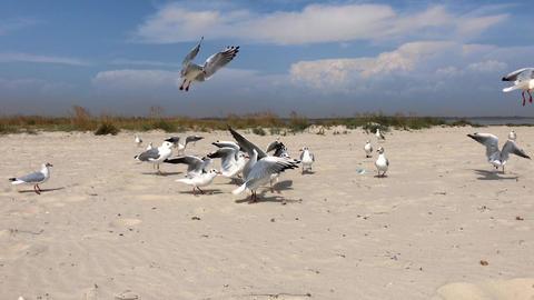 flock of marine white gulls on the sandy beach of the Black Sea Archivo