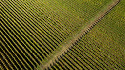Epic aerial 4k drone movie of a vineyard in late afternoon lights GIF