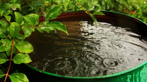 leaves on a forsythia bush above a barrel of rain wate GIF