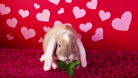Valentine s day. St Valentines pet animal lop cute heart love loving concept Live Action
