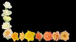 Montage of opening colorful roses time-lapse with ALPHA channel Archivo