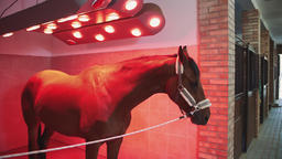 Horse under infrared lamp. Beautiful chestnut dog standing under infrared lamp Live Action
