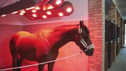 Horse under infrared lamp. Beautiful chestnut dog standing under infrared lamp Footage