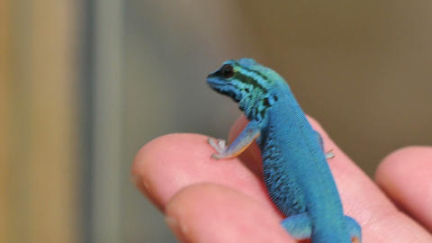 Lygodactylus Williamsi Lizard Reptile Closeup Footage