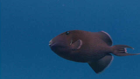 Trigger fish hovering above the reef Live Action