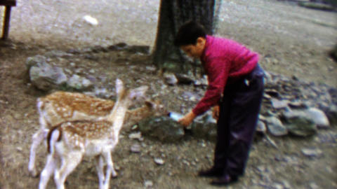 1961: Boy feeding adorable fawn deer with baby bottle at Pocono Wild Animal Farm Footage