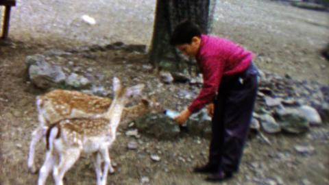 1961: Boy feeding adorable fawn deer with baby bottle at Pocono Wild Animal Farm Footage