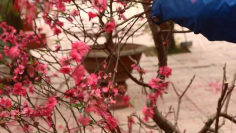 gardener pruning peach blossom Live Action