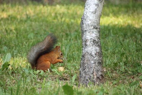 Squirrel under the birch フォト
