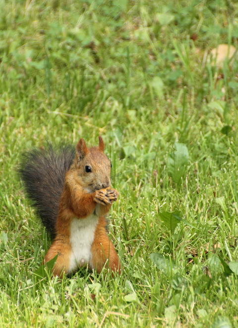 Squirrel on the grass Photo