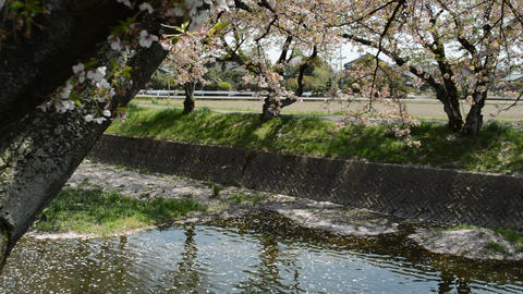 Fix:The cherry blossom petals that fell in the flow of a clear river flow 0019 Footage