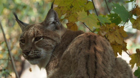 Eurasian Lynx and autumn leaves in background (scientific name Lynx lynx) 영상물