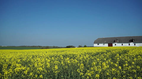 Panning view of a field of mustard flowers with a barn on one side Live Action