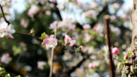 Pink flower apple tree branch with buds and flowers Footage
