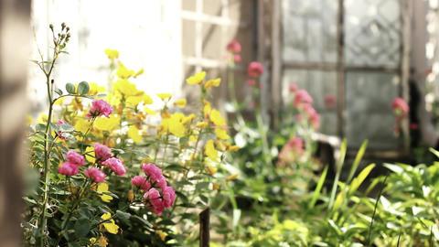 Indoor flowers bathing in the sunlight Stock Video Footage