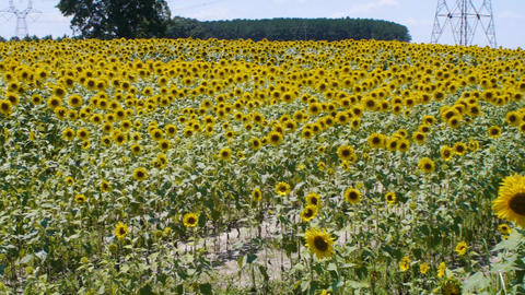 Rows and rows of sunflowers revealed Live Action