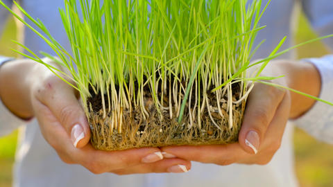 Female hands hold out handful of soil with green grass. Concept of growth, care Live Action