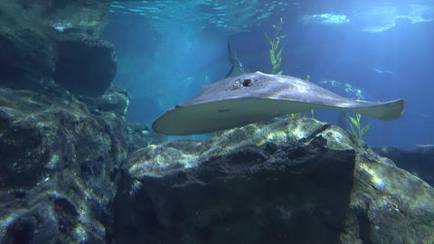 A large Stingray floating by the rocks, close-up Footage