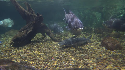 Large catfish on the stony bottom and floating big fishes Stock Video Footage