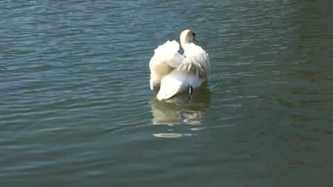 Swan-in-the water Stock Video Footage