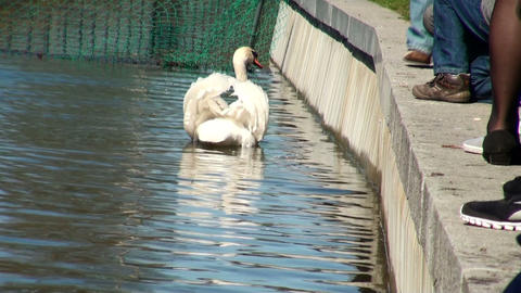 Swan-in-the water Footage