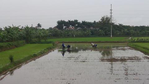 Asian farmers grow rice on the farm Footage