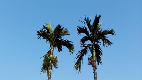 areca trees and sky Footage