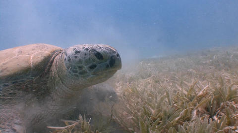 Large green turtle grazing on the seabed Live Action