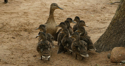 large duck family Footage