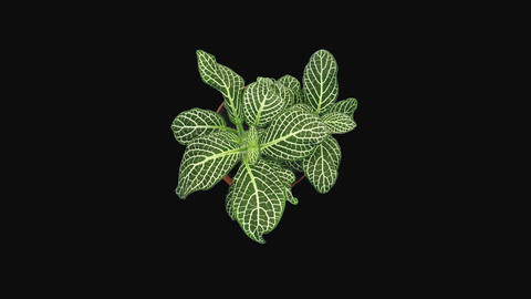 Time-lapse of growing fittonia flower with ALPHA channel, top view GIF