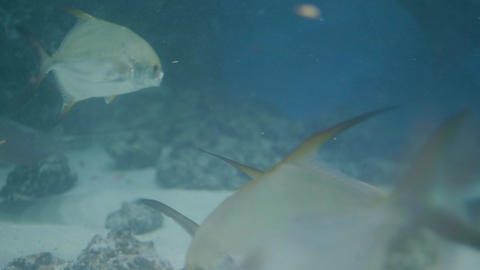 Fish swimming in undersea world oceanarium. Fish in transparent water aquarium Archivo