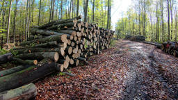 Walk through logging site in the forest. Forest felling, pile of logs Footage