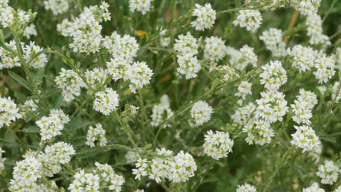white small wild flowers on the stems Footage