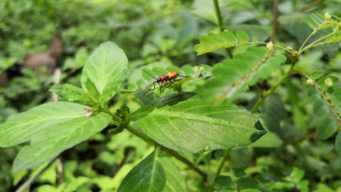 Orange milkweed bug in a thicket of leaves and branches, walking among them Live Action