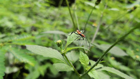 Orange bug with black spots and spines on the body. Long antennas and limbs Live Action