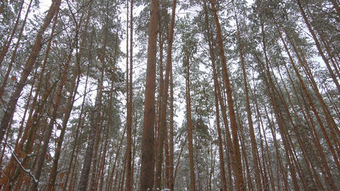Beautiful winter pine forest, panoramic video Footage