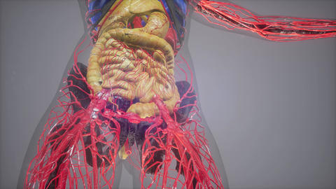 human anatomy illustration with all organs Live Action