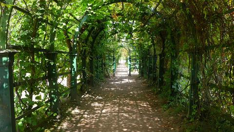 Walk through the green tunnel. Peterhof. Russia Footage