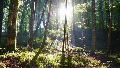 Misty Sunny morning in the forest Live Action