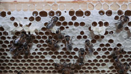 Honeycomb With Bees Working in Chambers Footage