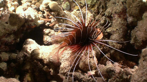 Fascinating and mysterious night dives. Radiata lionfish night huntress Live Action