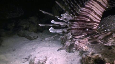 Fascinating and mysterious night dives. Lionfish hunters of the night Live Action