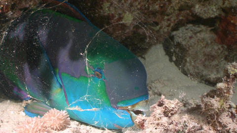 Sleeping at the bottom of a parrot fish Footage