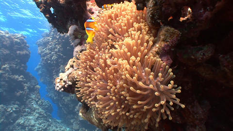 Symbiosis of clown fish and anemones Footage
