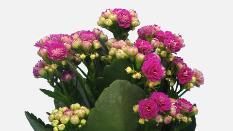 Time-lapse of opening pink kalanchoe flower with ALPHA channel Footage