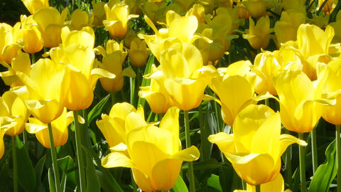 Tulips on a Sunny day Footage