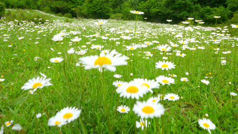 Walk through a field of daisies Footage