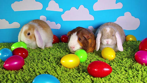 Easter animals animal guinea pig rabbits animals together Live Action