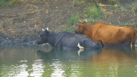 Cows stand in the water on a hot day ビデオ