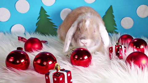 Cute christmas animal pet lop rabbit dwarf bunny xmas pets animals Live Action